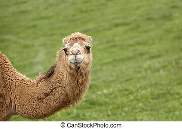 A Camel's Hello - A camel's neck and head. He's looking at...