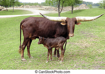 Watusi Cow with her Calf - A reddish-brown watusi cow...