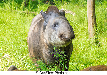 Lowland tapir (Tapirus terrestris) female  in a forest