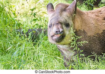 Lowland tapir (Tapirus terrestris) - Young lowland tapir...