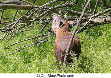 Lowland tapir Tapirus terrestris - Young lowland tapir...