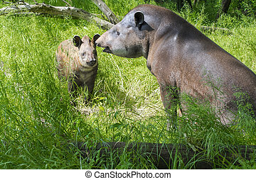 Lowland tapir (Tapirus terrestris) mother and her daughter