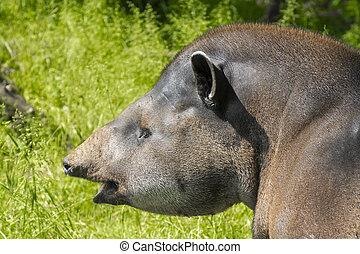 Lowland tapir Tapirus terrestris - Portrait of a lowland...