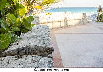 Mexican Iguana enjoying Golden Hour at Beach Walk