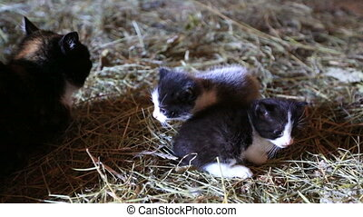 Mother cat and kittens on the farm