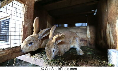 rabbits on the farm - Two rabbits sniff territory rabbits on...