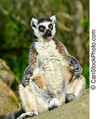 Lemur catta - Portrait of a ring-tailed lemur (Lemur catta)