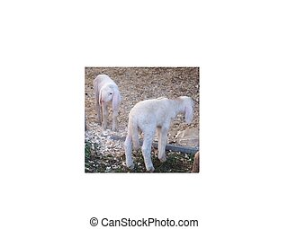 two white lambs at a traditional fa - two white lambs