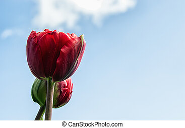Single Tulip - A Red Tulip on a beautiful day