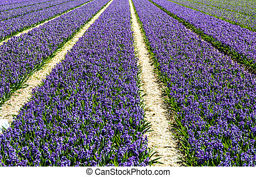 Field of Purple Hyacinth With Tulip Fields in the Background