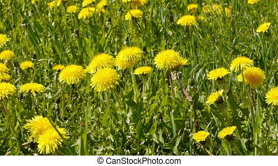 Glade of dandelions on springtime - Slider shot of glade of...