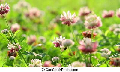 bee on clover flowers