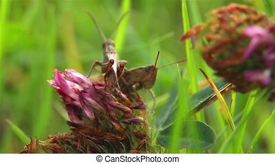 grasshoppers make love
