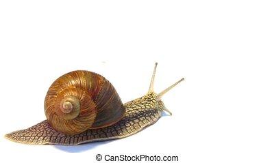 snail crawling on a white backgroun