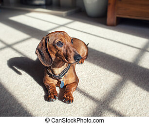 Shaded dachshund - smooth hair shaded dachshund puppy...