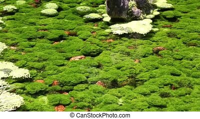 algae in the river in shallow water