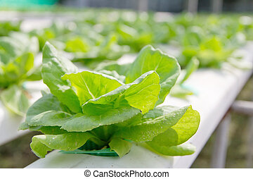 Hydroponics vegetable farm,close up of Lettuce Crop Lactuca...