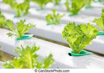hydroponique, légume, ferme,