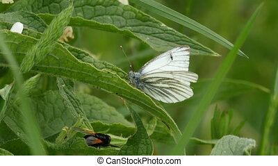 Small white butterfly (pieris rapae