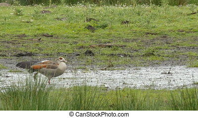 Egyptian goose in alert while pheasant is passing in wetland