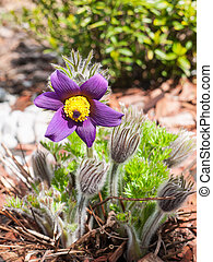 Purple pasque flowers on garden - Pasque wild flower group...