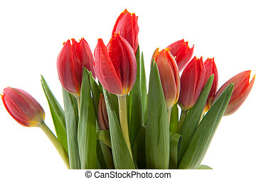 bouquet red tulips - red botanical tulips in springtime with...