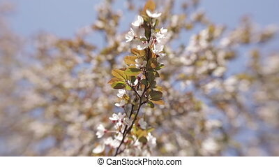 Blooming tree in spring with white flowers - Spring Cherry...