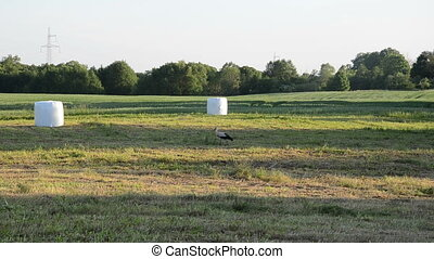 stork field straw bale - Stork bird walk in harvested field...