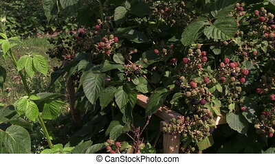 blackberry branch garden - unripe blackberry branch on...