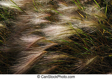 Foxtail Barley (Hordeum jubatum) - Foxtail Barley, a...