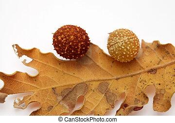 bellotas, hojas, roble