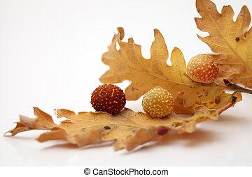 Acorns oak leaves - autumn leaves