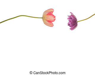 purple and pink tulips against each other - two pink and...