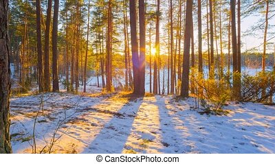 sunset in winter forest, panorama