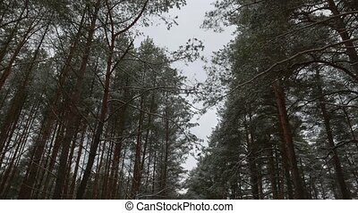 pine trees in the snow, view from below