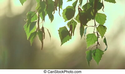 Birch catkin bloom and leaves backlit in sunset light,...