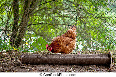 chicken on traditional free range poultry farm