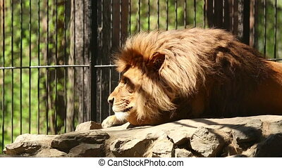King of beasts - Male lion having rest in his zoo open-air...