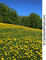 Dandelions blossoming field