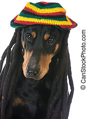 dog in costume - doberman dressed with dreadlocks on white...