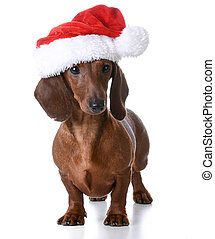 christmas puppy - miniature dachshund wearing santa hat on...