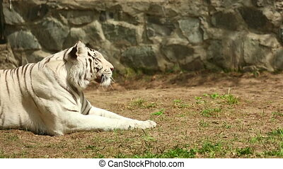 White tigress - The white tiger is lying on the grass and...