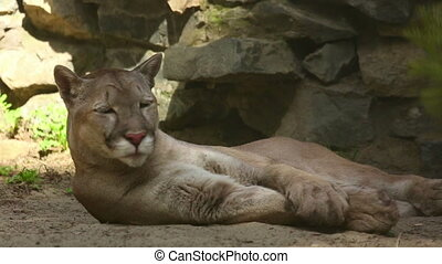 American mountain lion - Cougar american mountain lion...
