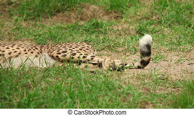 Cheetah - Young cheetah lying in the grass