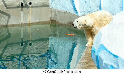 Polar bear walking near pool