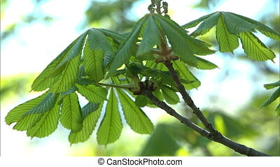 Green leaves - Leaves of a big tree waving in the wind