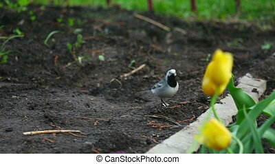 Wagtail looking for insects in the grass