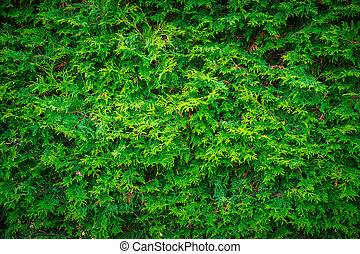 Cedar Leaves Hedge Wall Background - Close-up of the deep,...
