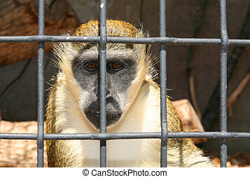 monkey in zoo or laboratory