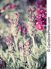 Beautiful lavandula stoechas flower. - Close view of the...